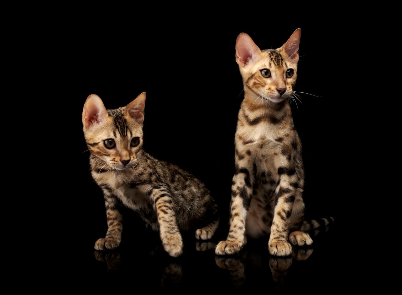 Najdroższe koty rasowe i opieka nad nimi